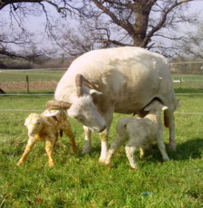 lamb-01