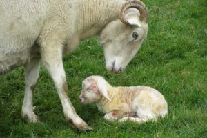 little lamb with its mummy