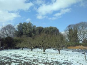 row of four trees with snowed in ground